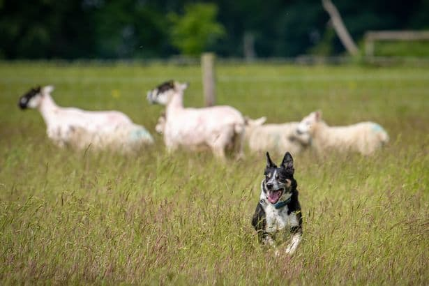 Deaf Border Collie Learns Sign Language to Herd Sheep