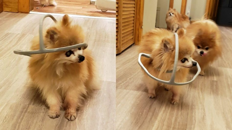 3D-Printed Halo Helps Blind 18-Year-Old Dog
